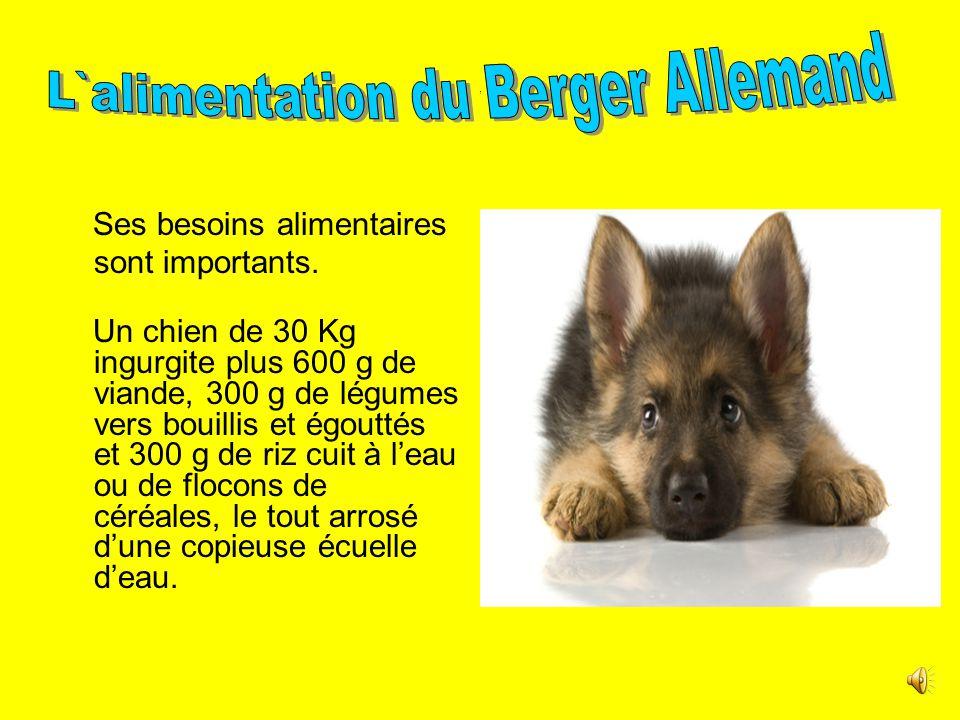 . Le berger allemand est un chien à la fois très sportif et élégant, grâce à sa taille souple. Son pelage est dense, rude et droit. Sa robe est noire.