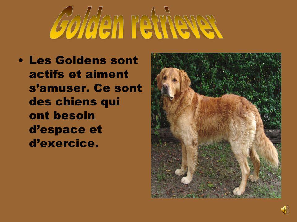 Les Goldens sont actifs et aiment samuser.