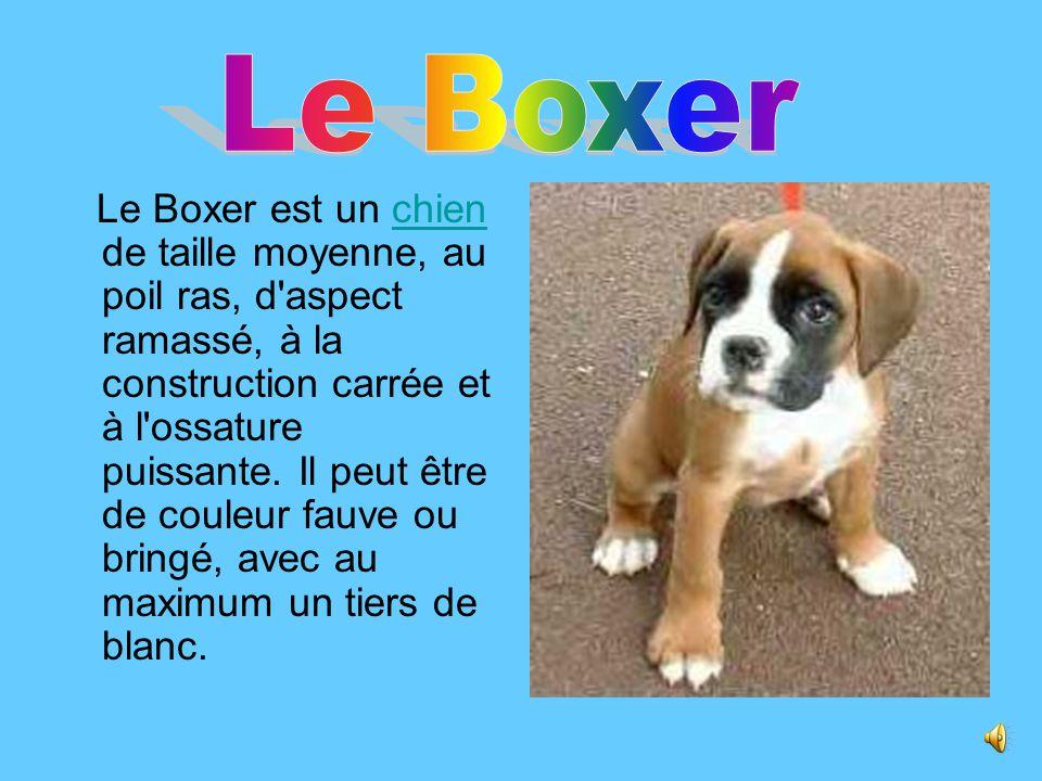 Le Boxer est un chien de taille moyenne, au poil ras, d aspect ramassé, à la construction carrée et à l ossature puissante.