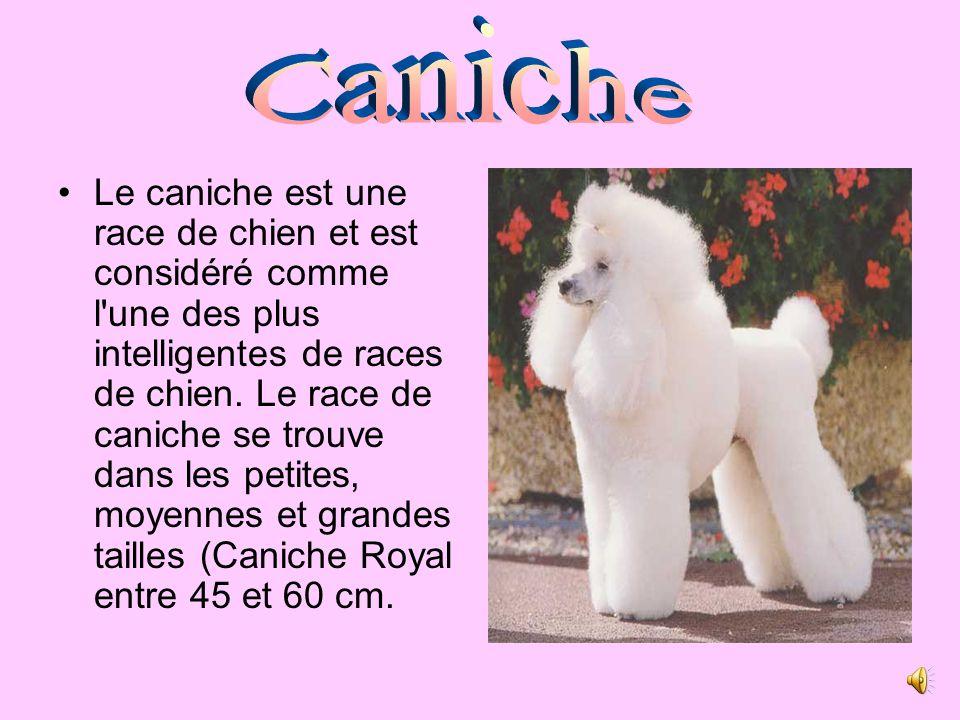 Le caniche est une race de chien et est considéré comme l une des plus intelligentes de races de chien.