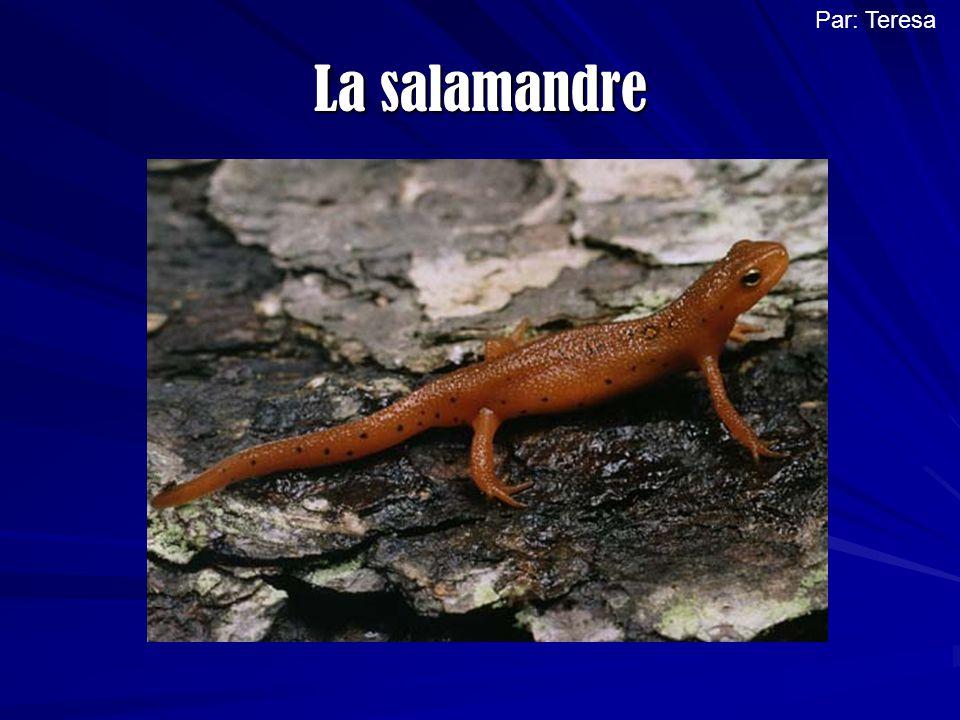 Le nom de lanimal sur lequel je travaillais est la salamandre, elle fait partie de la famille des amphibiens.