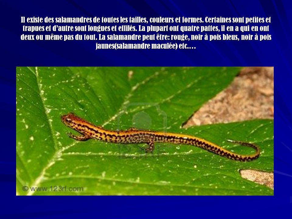 Les salamandres vivent dans des endroits obscurs, dans leau ou sur le sol.