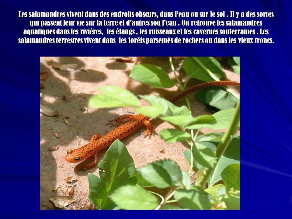 Les salamandres vivent dans des endroits obscurs, dans leau ou sur le sol. Il y a des sortes qui passent leur vie sur la terre et dautres sou leau. On