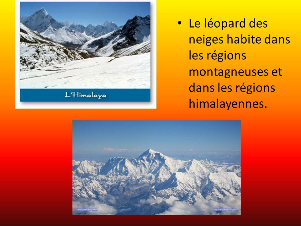 Description physique Le Léopard des neiges est blanc avec des tâches noires.