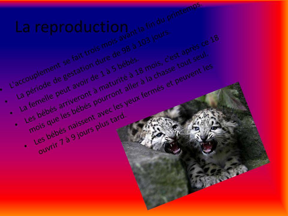 Lalimentation Le Léopard des neiges mange les moutons sauvages, les sangliers, les gazelles, les lièvres, les markhors, les bodaks, les tahrs, les marmottes, les rennes et les souris.