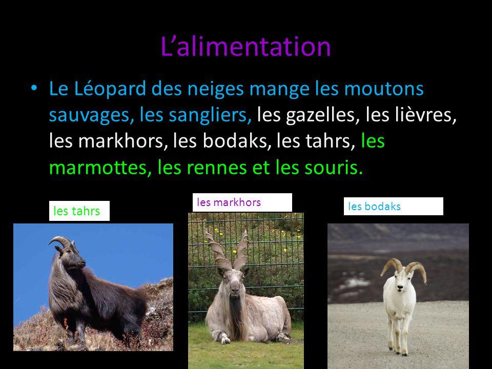 Lalimentation Le Léopard des neiges mange les moutons sauvages, les sangliers, les gazelles, les lièvres, les markhors, les bodaks, les tahrs, les mar