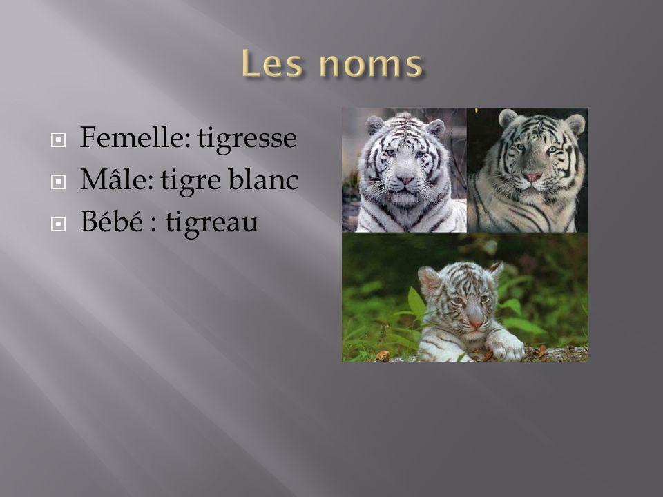 Femelle: tigresse Mâle: tigre blanc Bébé : tigreau