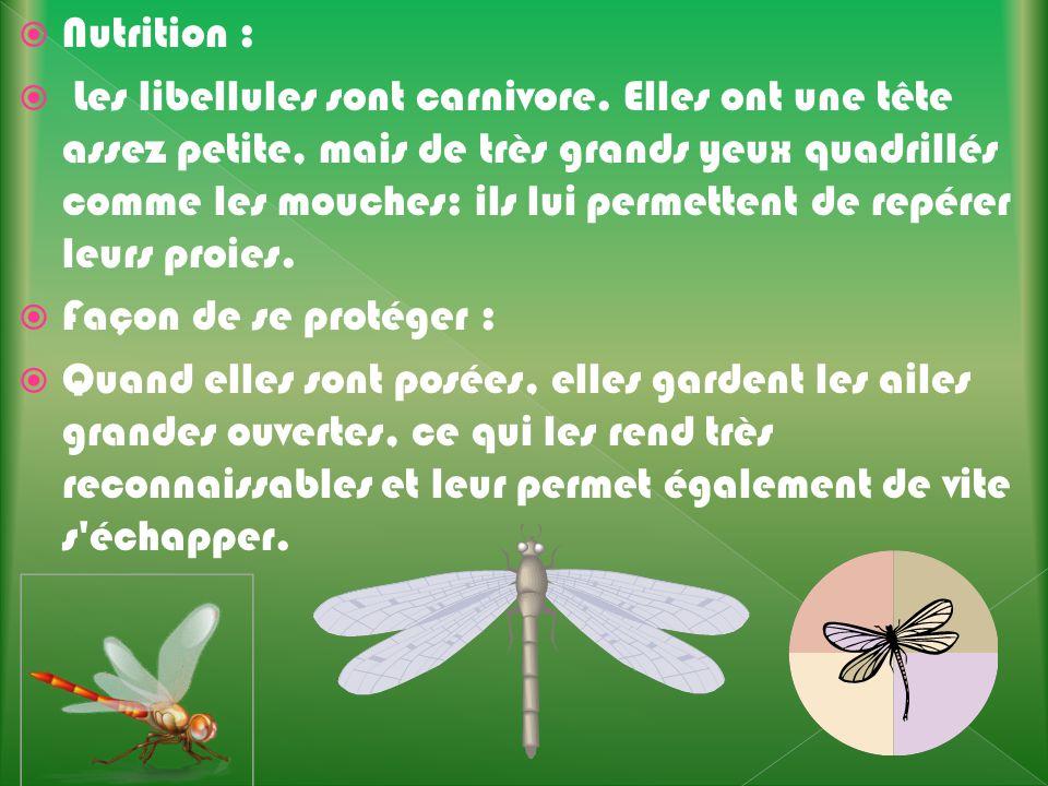 Nutrition : Les libellules sont carnivore. Elles ont une tête assez petite, mais de très grands yeux quadrillés comme les mouches: ils lui permettent