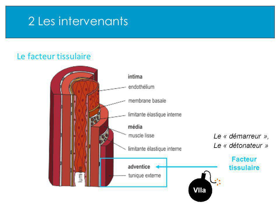 2 Les intervenants Le facteur tissulaire Facteur tissulaire Le « démarreur », Le « détonateur » VIIa