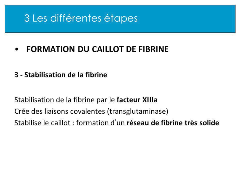 3 Les différentes étapes FORMATION DU CAILLOT DE FIBRINE 3 - Stabilisation de la fibrine Stabilisation de la fibrine par le facteur XIIIa Crée des liaisons covalentes (transglutaminase) Stabilise le caillot : formation d un réseau de fibrine très solide