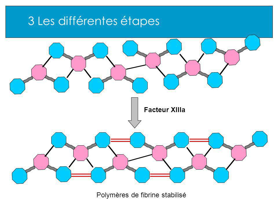 3 Les différentes étapes Facteur XIIIa Polymères de fibrine stabilisé
