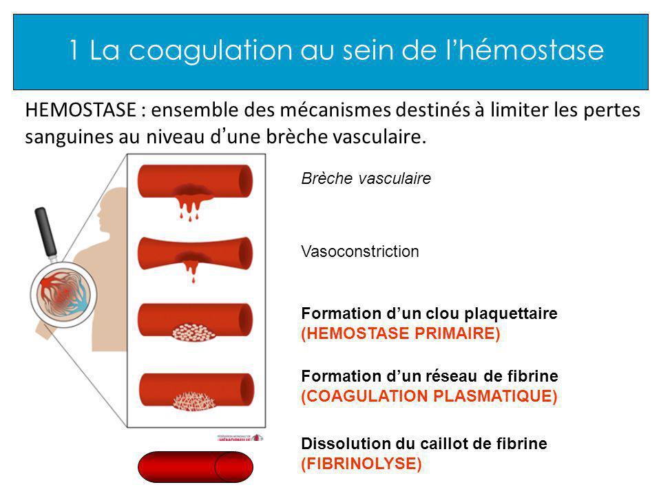 1 La coagulation au sein de l hémostase HEMOSTASE : ensemble des mécanismes destinés à limiter les pertes sanguines au niveau d une brèche vasculaire.