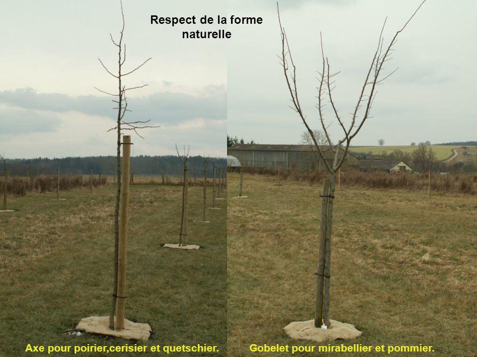 Respect de la forme naturelle Gobelet pour mirabellier et pommier.Axe pour poirier,cerisier et quetschier.