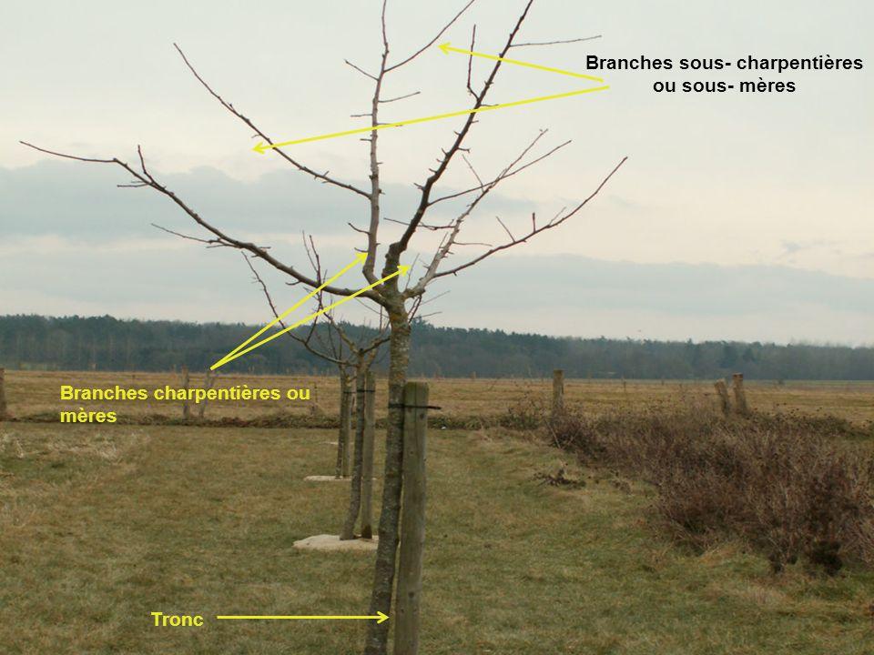 Tronc Branches charpentières ou mères Branches sous- charpentières ou sous- mères