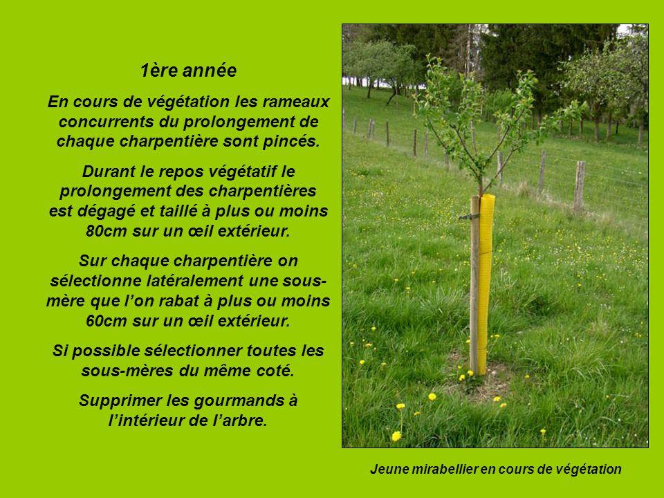 1ère année En cours de végétation les rameaux concurrents du prolongement de chaque charpentière sont pincés. Durant le repos végétatif le prolongemen
