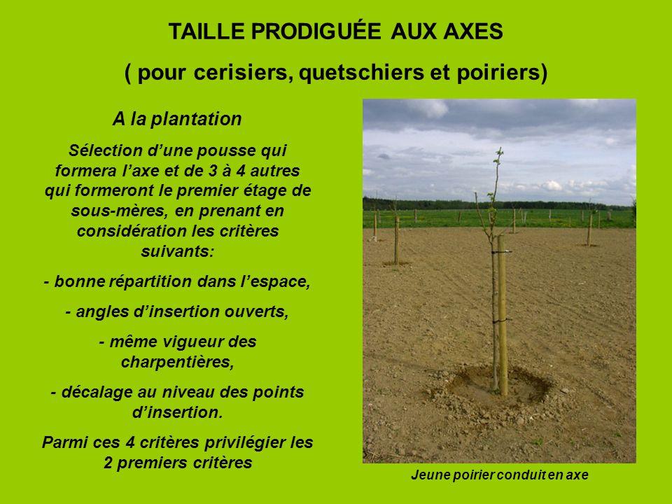 TAILLE PRODIGUÉE AUX AXES ( pour cerisiers, quetschiers et poiriers) A la plantation Sélection dune pousse qui formera laxe et de 3 à 4 autres qui for