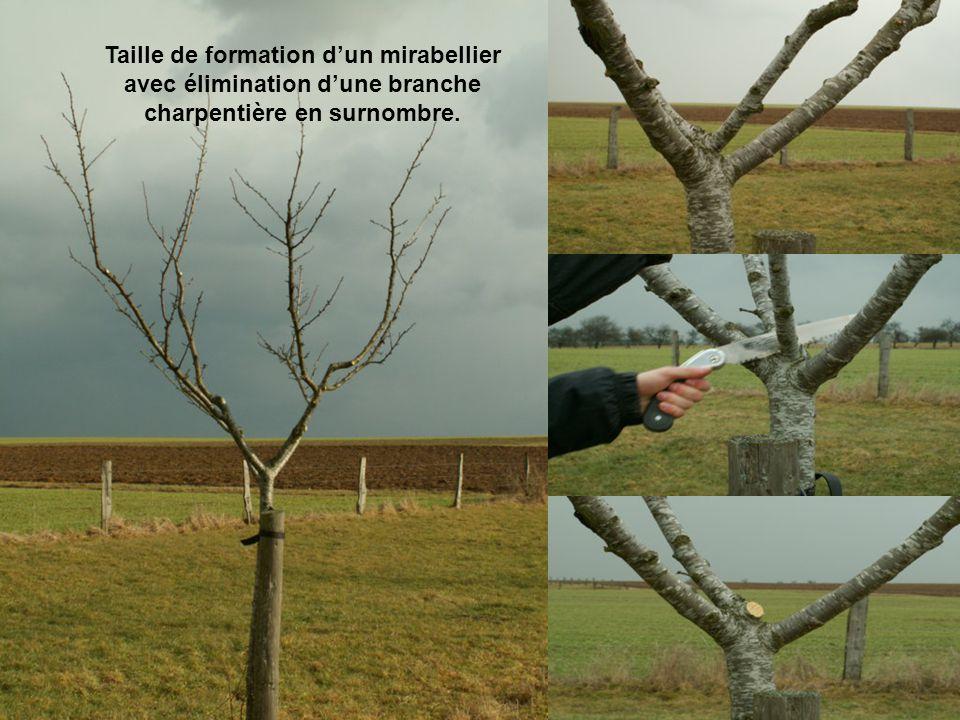 Taille de formation dun mirabellier avec élimination dune branche charpentière en surnombre.