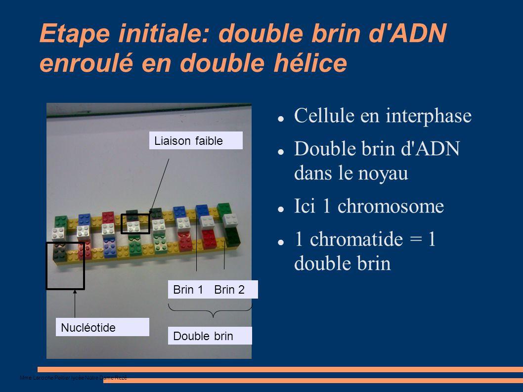 Nucléotide Liaison faible Etape initiale: double brin d'ADN enroulé en double hélice Cellule en interphase Double brin d'ADN dans le noyau Ici 1 chrom