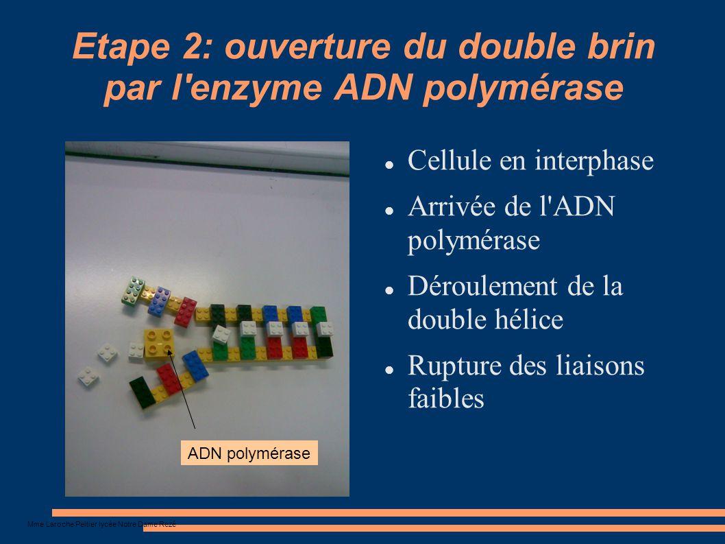 Mme Laroche Peltier lycée Notre Dame Rezé Etape 3: arrivée des nucléotides complémentaires Cellule en interphase Arrivée de nouveaux nucléotides Assemblage des nucléotides selon la complémentarité des nucléotides des anciens brins 2 nouveaux brins se forment Nouveau brin 4 brins d ADN (2+2) 2 chromatides 1 chromosome