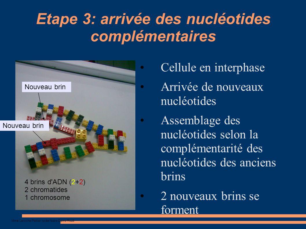 Mme Laroche Peltier lycée Notre Dame Rezé Etape 3: arrivée des nucléotides complémentaires Cellule en interphase Arrivée de nouveaux nucléotides Assem