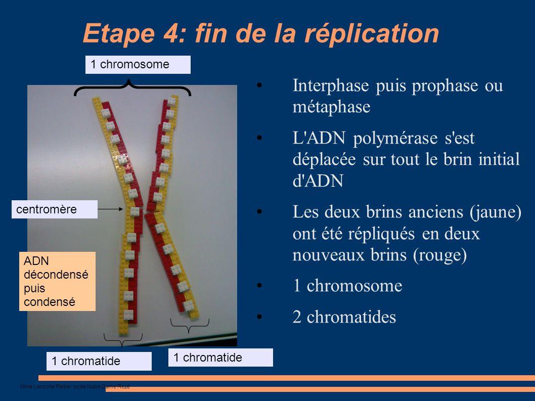 Mme Laroche Peltier lycée Notre Dame Rezé Etape 4: fin de la réplication Interphase puis prophase ou métaphase L'ADN polymérase s'est déplacée sur tou