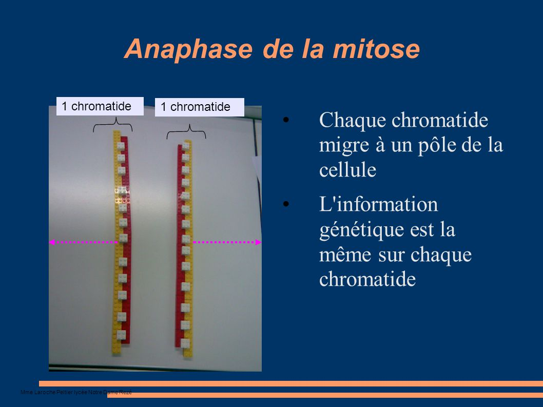 Mme Laroche Peltier lycée Notre Dame Rezé Anaphase de la mitose Chaque chromatide migre à un pôle de la cellule L'information génétique est la même su