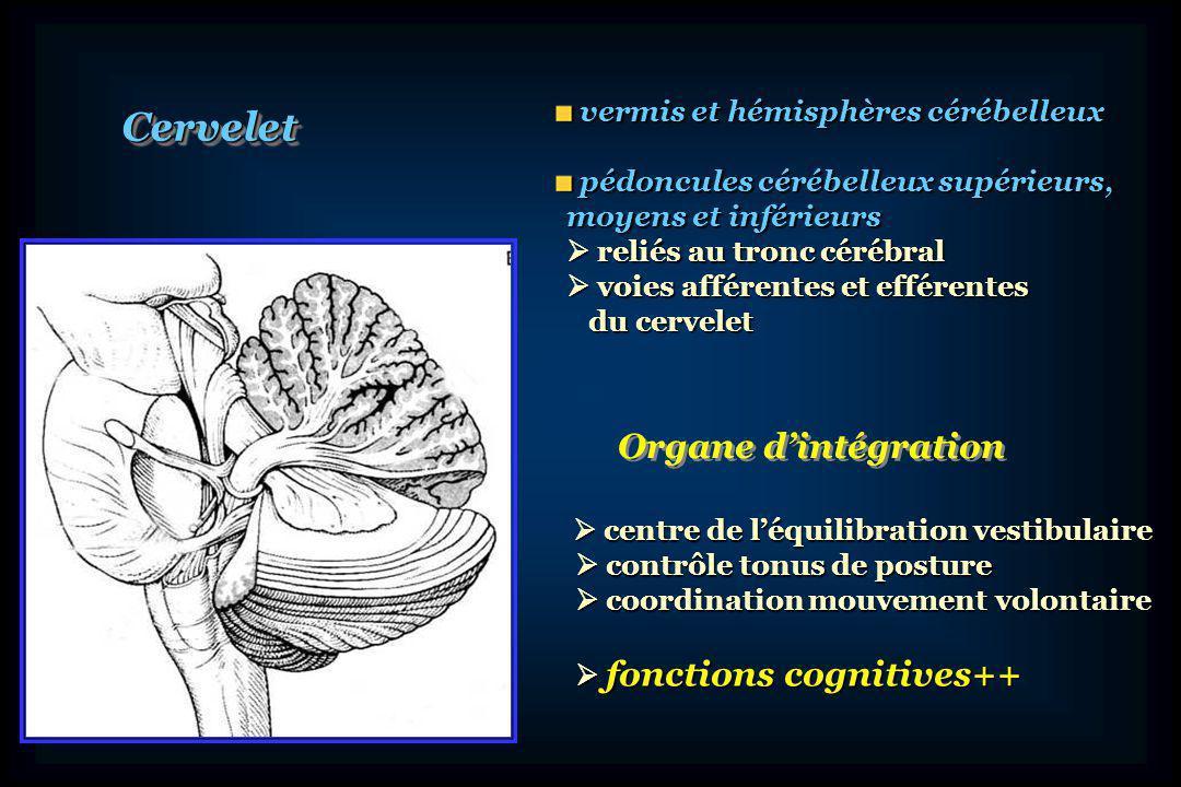 Tronc cérébral et cervelet sont très liés anatomiquement et fonctionnellement en raison de leur origine embryologique mésencéphalerhombencéphale TC et cervelet: TC et cervelet: mésencéphale et rhombencéphale mésencéphale et rhombencéphale mésencéphale mésencéphale rhombencéphale rhombencéphale métencéphale protubérance métencéphale protubérance myélencéphale bulbe myélencéphale bulbe Cervelet: double origine Cervelet: double origine mésencéphale et métencéphale mésencéphale et métencéphale 1ère ébauche du cervelet: isthme, limite mésencéphale-métencéphale 1ère ébauche du cervelet: isthme, limite mésencéphale-métencéphaleisthmeMes métencéphale myélencéphale Mes pont bulbe Ébauche cervelet cervelet
