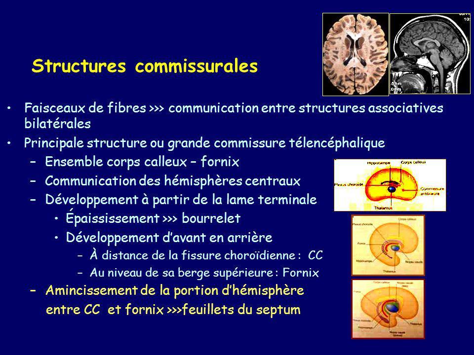 Structures commissurales Autres commissures –C.blanche antérieure –C.