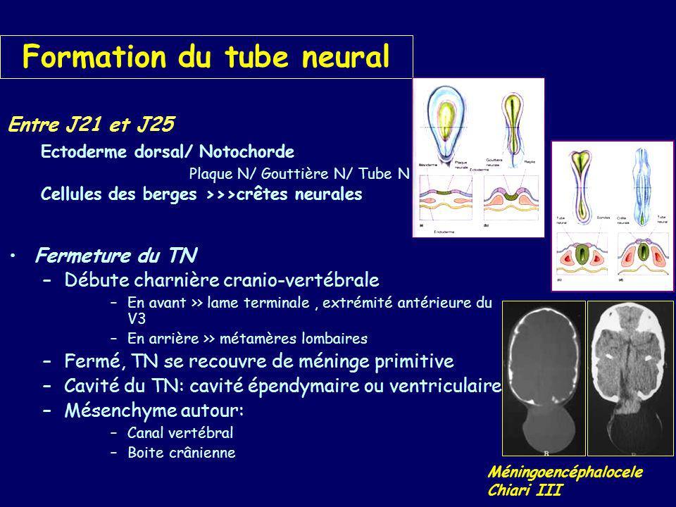 Diverticulation du TN 4ème semaine: TN antérieur>>> 3 vésicules 5ème semaine : –Diverticules olfactifs – hémisphères cérébraux –Diverticules optiques – cupules et nerfs optiques –Diverticules otiques – éléments vestibulo- cérébelleux >>>>>5 vésicules –Télancéphale (olfactif) –Diencéphale (endocrinien) –Mésencéphale (optique) –Métencéphale (stato-acoustique) –myélencéphale