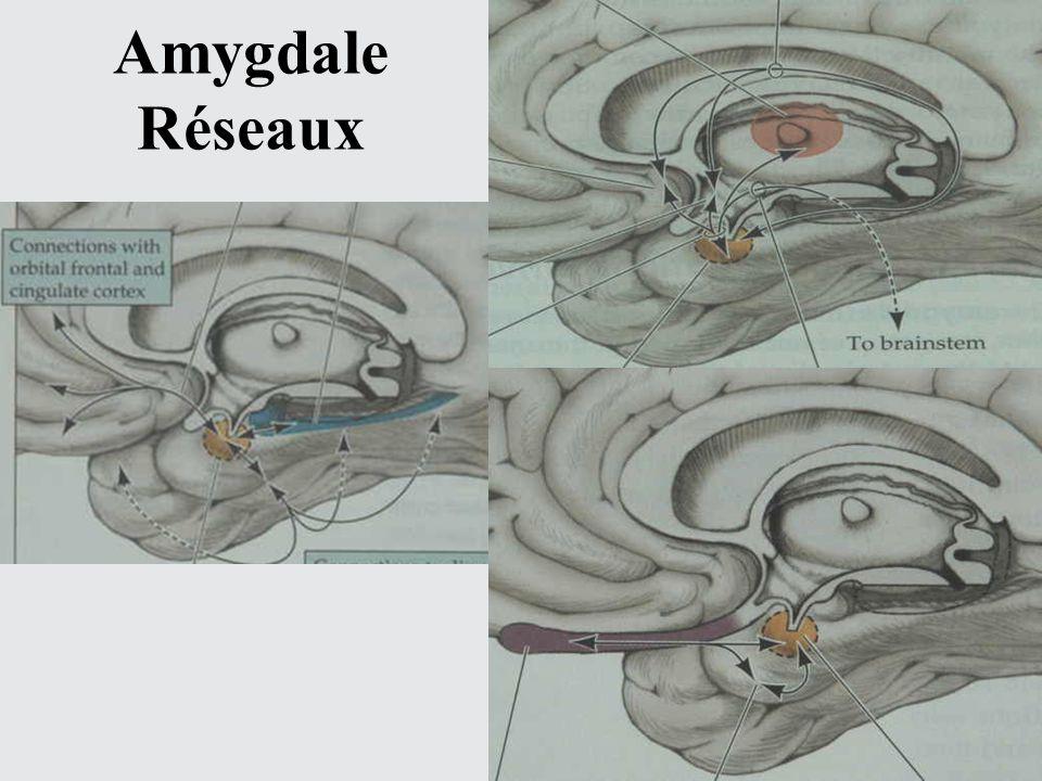 Amygdale Réseaux