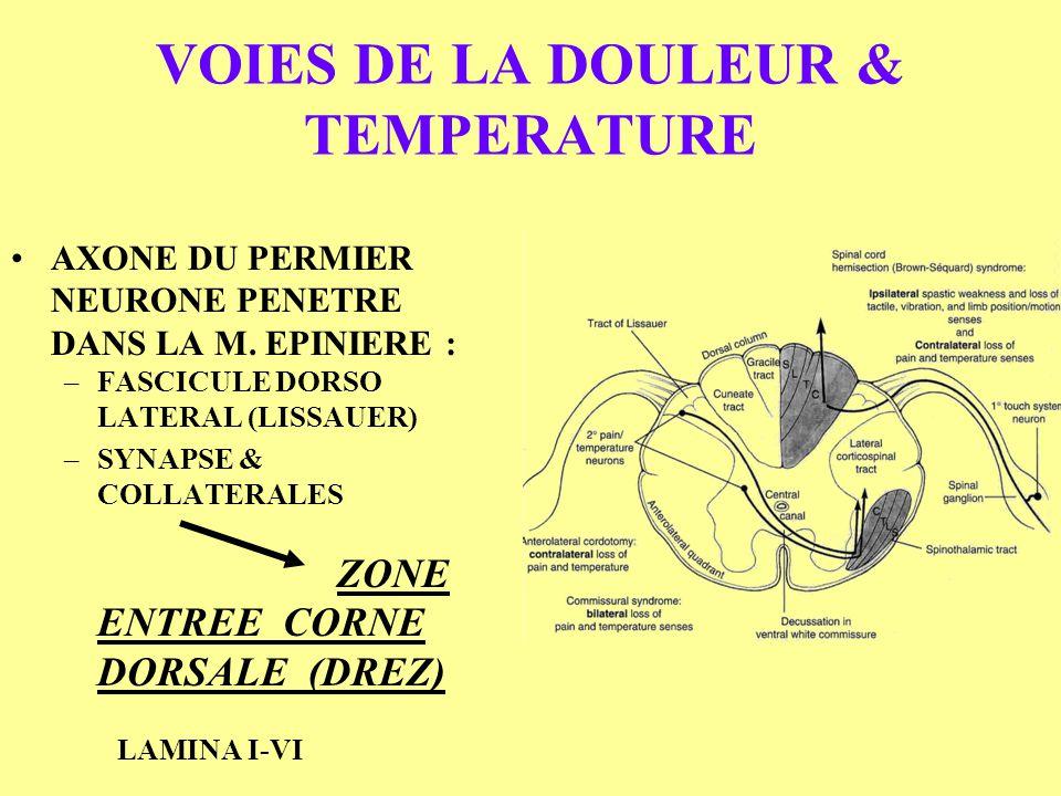 VOIES DE LA DOULEUR & TEMPERATURE AXONE DU PERMIER NEURONE PENETRE DANS LA M. EPINIERE : –FASCICULE DORSO LATERAL (LISSAUER) –SYNAPSE & COLLATERALES Z