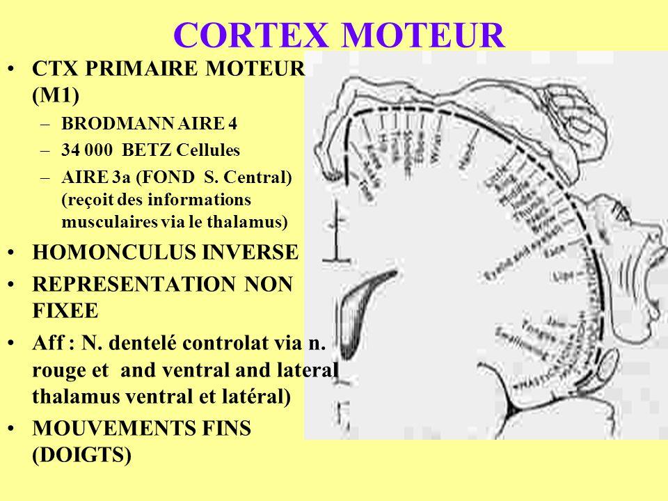CORTEX MOTEUR CTX PRIMAIRE MOTEUR (M1) –BRODMANN AIRE 4 –34 000 BETZ Cellules –AIRE 3a (FOND S. Central) (reçoit des informations musculaires via le t