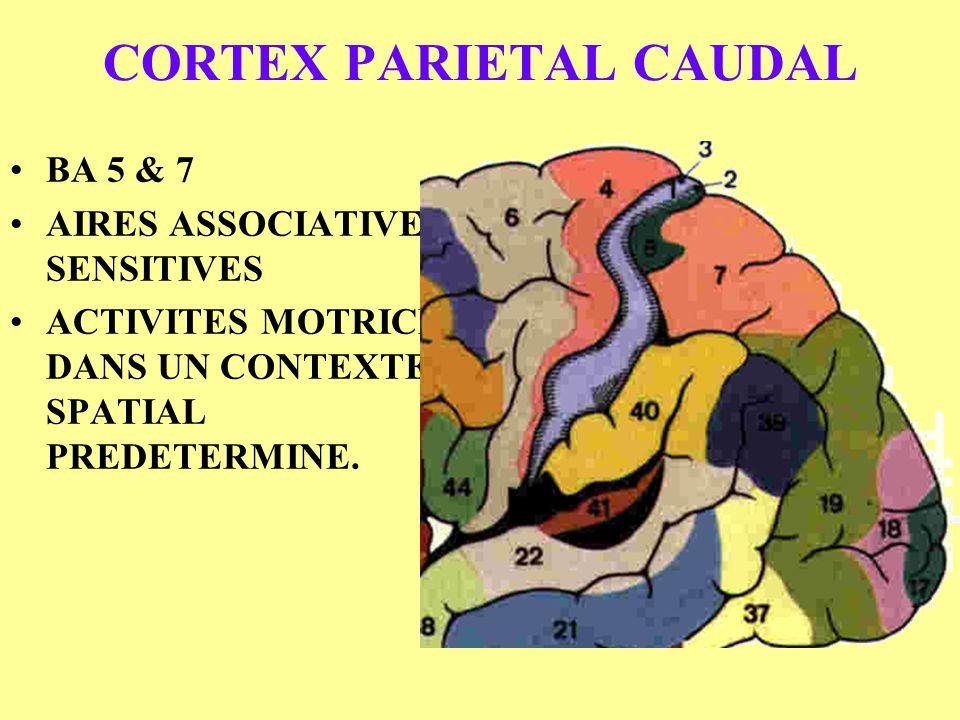CORTEX PARIETAL CAUDAL BA 5 & 7 AIRES ASSOCIATIVES SENSITIVES ACTIVITES MOTRICE DANS UN CONTEXTE SPATIAL PREDETERMINE.