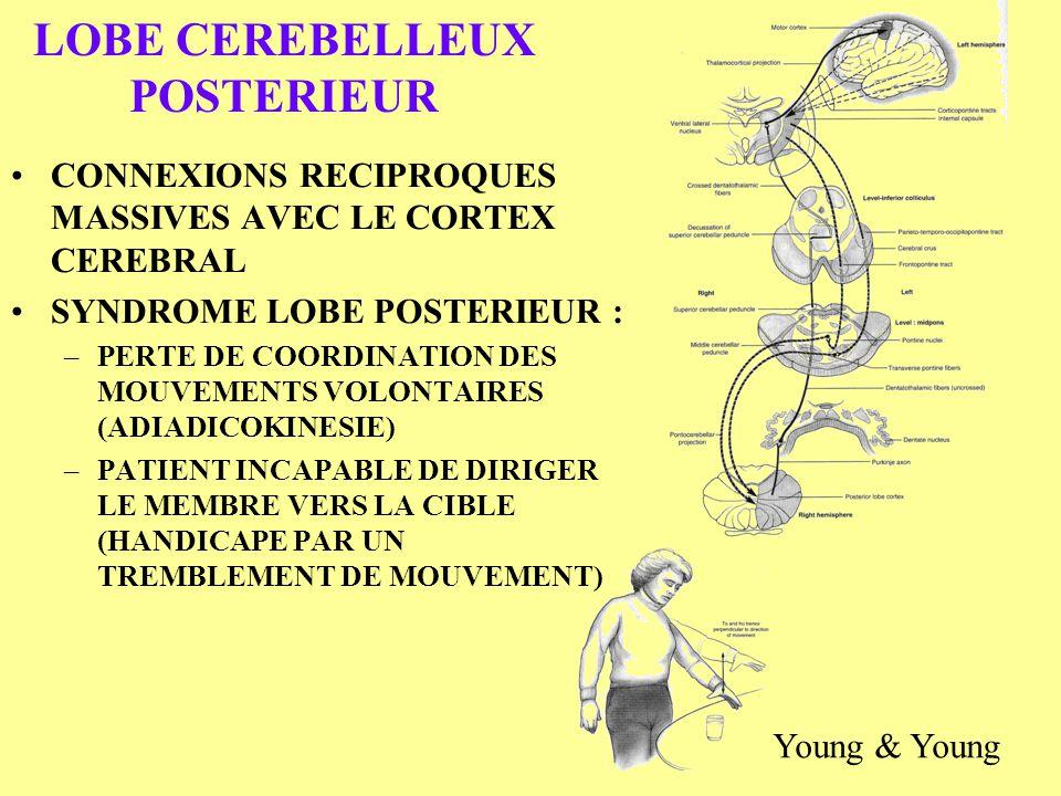 LOBE CEREBELLEUX POSTERIEUR CONNEXIONS RECIPROQUES MASSIVES AVEC LE CORTEX CEREBRAL SYNDROME LOBE POSTERIEUR : –PERTE DE COORDINATION DES MOUVEMENTS V