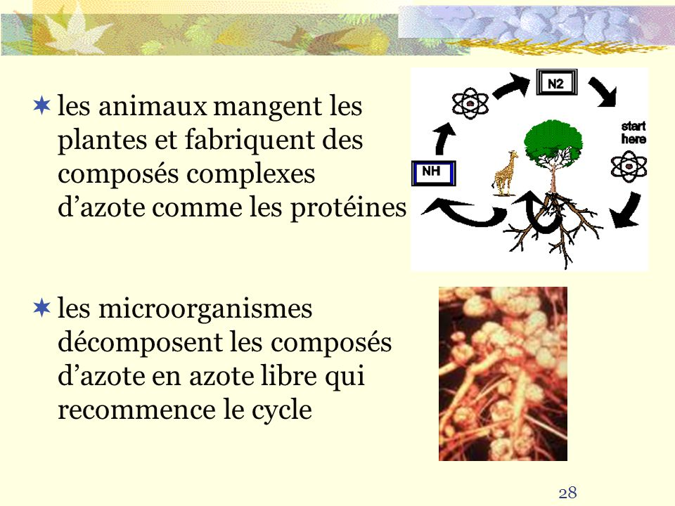 28 les animaux mangent les plantes et fabriquent des composés complexes dazote comme les protéines les microorganismes décomposent les composés dazote en azote libre qui recommence le cycle