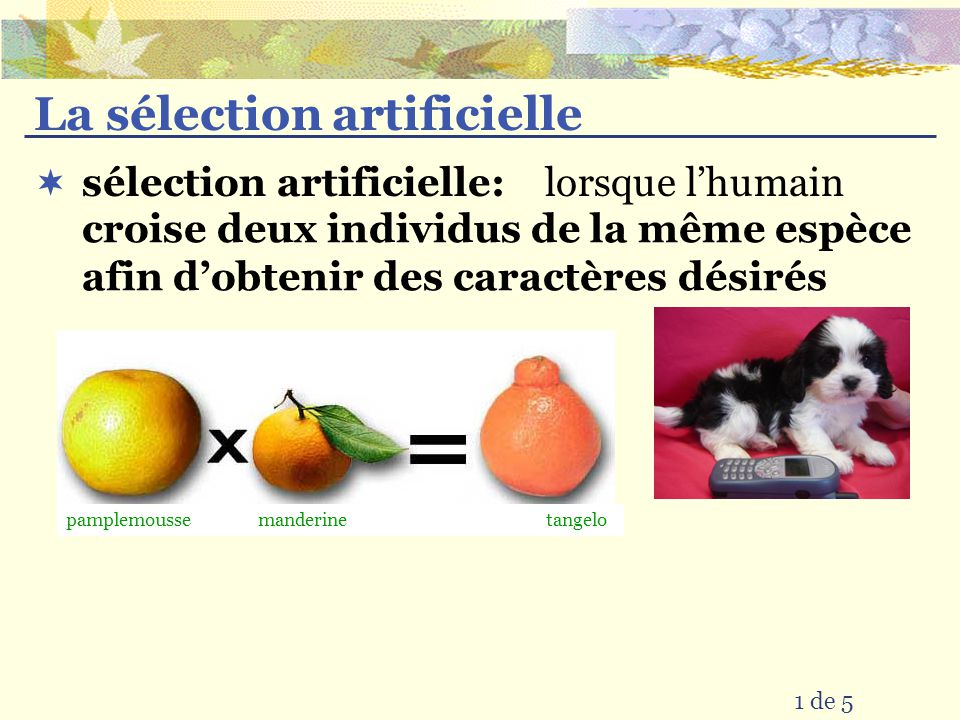 La sélection artificielle lorsque lhumain 1 de 5 sélection artificielle: croise deux individus de la même espèce afin dobtenir des caractères désirés