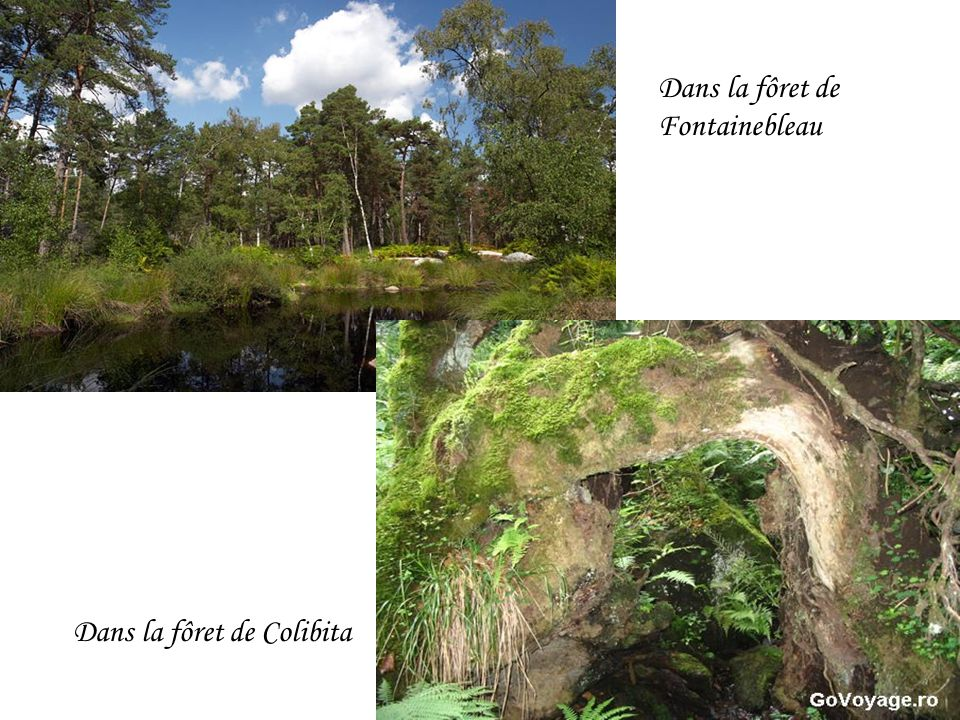 Dans la fôret de Fontainebleau Dans la fôret de Colibita