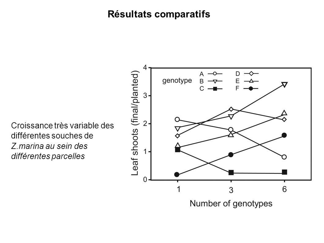 Croissance très variable des différentes souches de Z.marina au sein des différentes parcelles