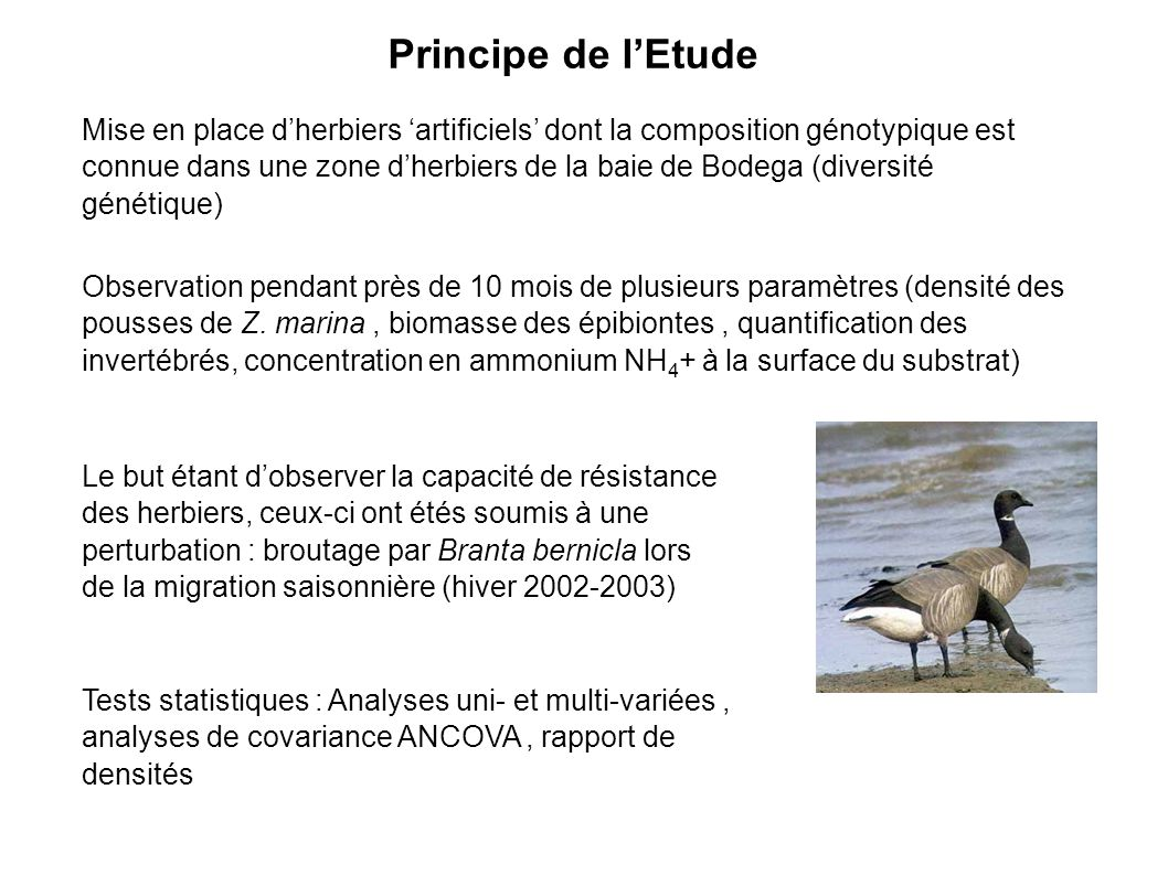 Principe de lEtude Mise en place dherbiers artificiels dont la composition génotypique est connue dans une zone dherbiers de la baie de Bodega (diversité génétique) Observation pendant près de 10 mois de plusieurs paramètres (densité des pousses de Z.