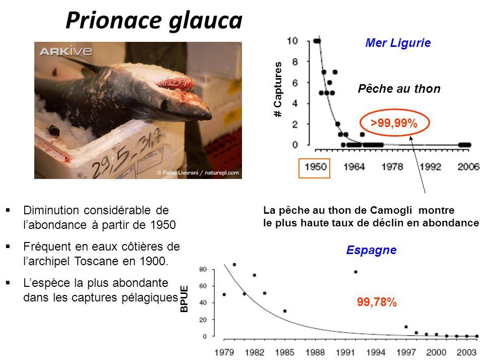 Prionace glauca La pêche au thon de Camogli montre le plus haute taux de déclin en abondance Pêche au thon # Captures Mer Ligurie >99,99% Espagne BPUE 99,78% Diminution considérable de labondance à partir de 1950 Fréquent en eaux côtières de larchipel Toscane en 1900.