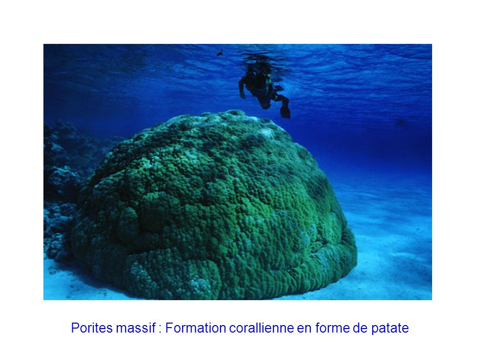 Porites massif : Formation corallienne en forme de patate