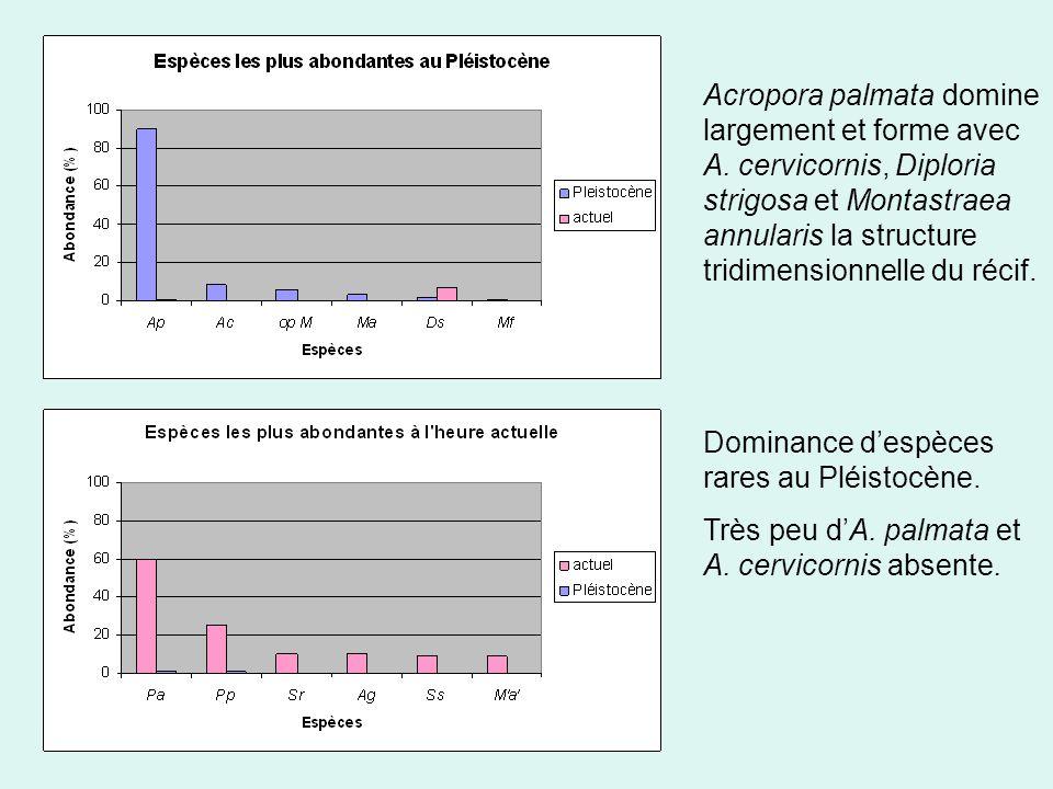 Acropora palmata domine largement et forme avec A.
