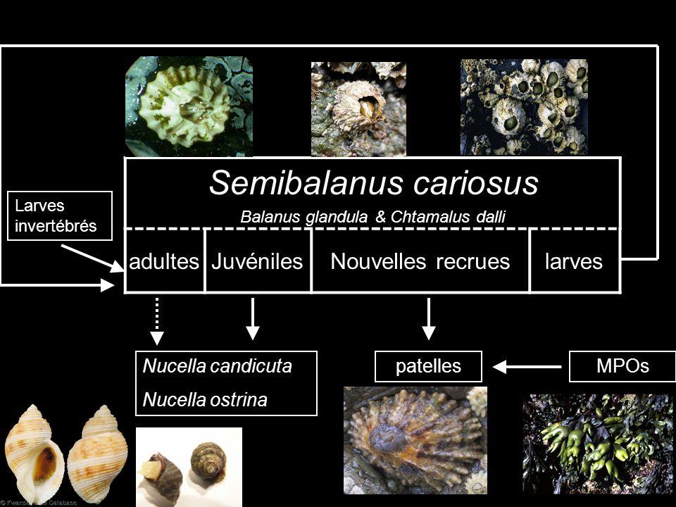 adultesJuvénilesNouvelles recrueslarves Larves invertébrés Semibalanus cariosus Balanus glandula & Chtamalus dalli Nucella candicuta Nucella ostrina patellesMPOs