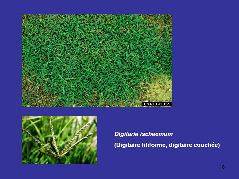18 Digitaria ischaemum (Digitaire filiforme, digitaire couchée)