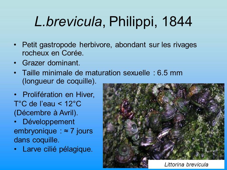 L.brevicula, Philippi, 1844 Petit gastropode herbivore, abondant sur les rivages rocheux en Corée.