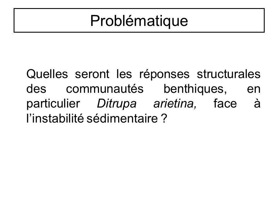 Problématique Quelles seront les réponses structurales des communautés benthiques, en particulier Ditrupa arietina, face à linstabilité sédimentaire ?