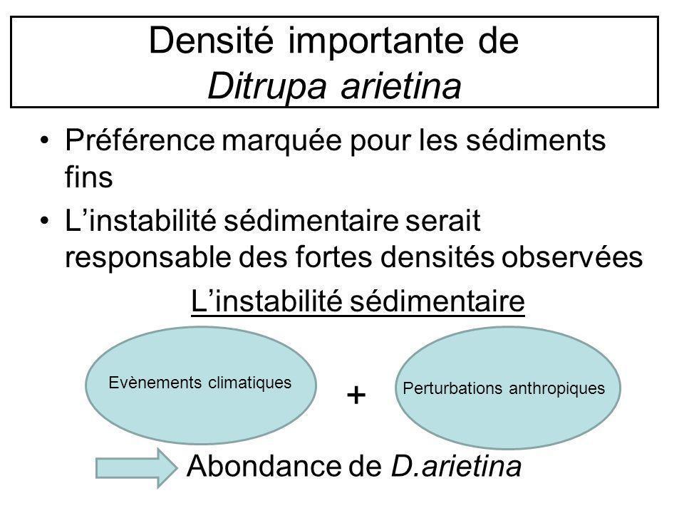 Densité importante de Ditrupa arietina Préférence marquée pour les sédiments fins Linstabilité sédimentaire serait responsable des fortes densités obs