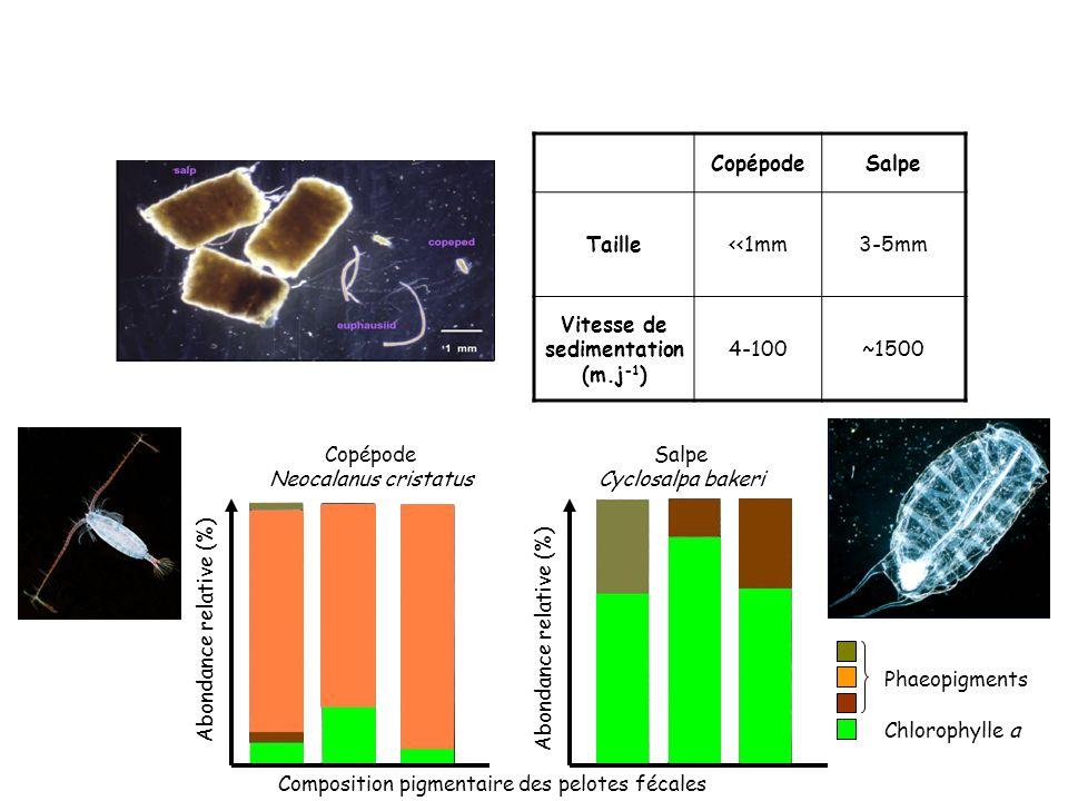 CopépodeSalpe Taille<<1mm3-5mm Vitesse de sedimentation (m.j -1 ) 4-100~1500 Chlorophylle a Phaeopigments Salpe Cyclosalpa bakeri Abondance relative (