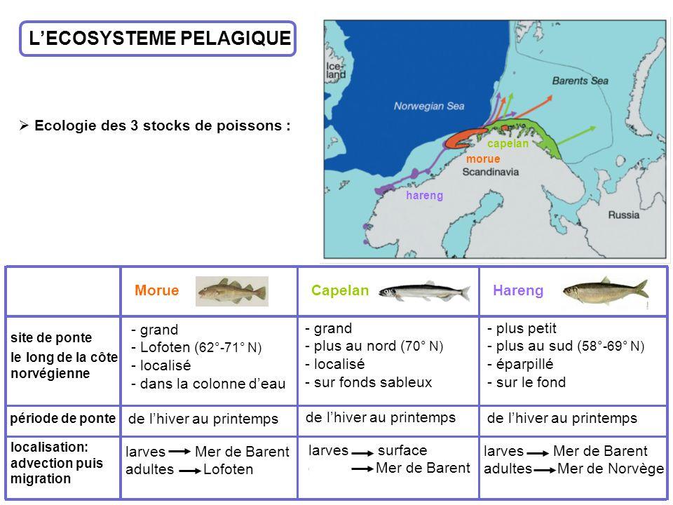 LECOSYSTEME PELAGIQUE Ecologie des 3 stocks de poissons : MorueCapelanHareng site de ponte le long de la côte norvégienne localisation: advection puis