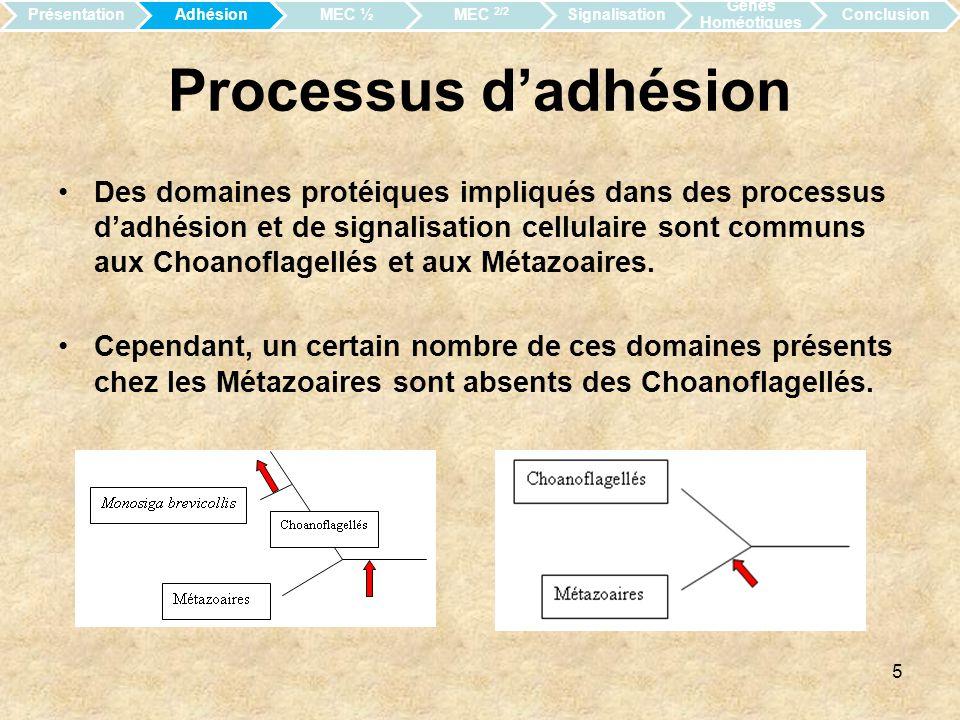 6 Adhésion et Matrice Extracellulaire Le génome de Monosiga brevicollis encode des protéines de la MEC, des protéines transmembranaires, la cadhérine etc.